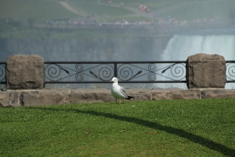 Image of a bird on the grass near Niagra Falls